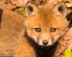 Fox Kits-3